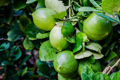 Лимон сада стоковые фотографии rf