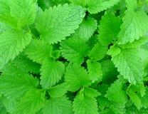 лимон травы бальзама стоковые изображения