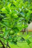 лимон Стоковые Изображения RF