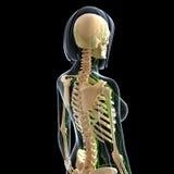 Лимфатическая система взгляда со стороны задней части женщины Стоковая Фотография RF