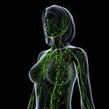 Лимфатическая система женщины изолированная на черноте Стоковые Фотографии RF