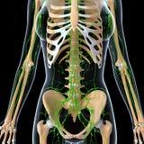 Лимфатическая система женщины с черной предпосылкой Стоковые Изображения