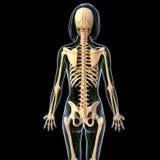 Лимфатическая система задней части женщины Стоковые Фото
