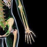 Лимфатическая система Стоковые Фотографии RF