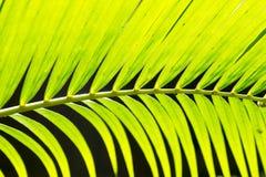 Линии и текстуры зеленых листьев ладони Стоковые Фотографии RF