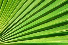 Линии и текстуры зеленых листьев ладони Стоковое фото RF
