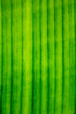 Линии, картина, текстура лист банана Стоковая Фотография