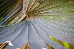 Линии черенок лист дерева flabellifer Borassus Стоковые Изображения RF
