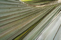 Линии черенок лист дерева flabellifer Borassus Стоковые Фото