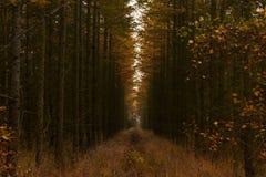 Линия пней между высокими деревьями в лесе Стоковые Фотографии RF