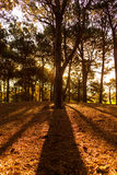 Линия силуэта сосны в сосновом лесе Стоковые Фото