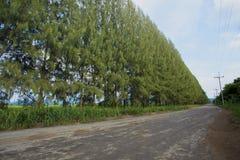 Линия сосны вдоль дороги повреждения стоковая фотография