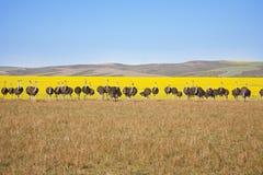 Линия страусов Стоковые Изображения