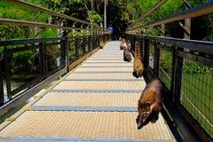 Линия юга - американский nasua Nasua енотов Стоковая Фотография RF
