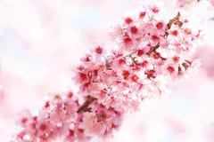 линия sakura цветков Стоковая Фотография RF