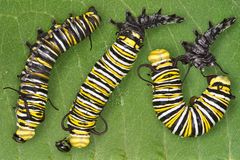 линять монарха гусеницы стоковые изображения rf