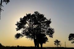 Липа на предпосылке захода солнца черный вал силуэта Стоковая Фотография