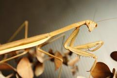 Липкий mantis Стоковое Изображение