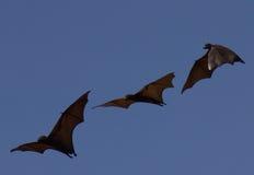 Лиса летания в Riung Стоковые Фото