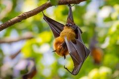 Лиса летания мужского Lyle Стоковые Изображения RF