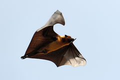 Лиса летания Стоковое Фото