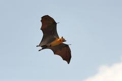 Лиса летания Стоковая Фотография RF
