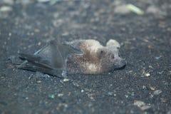 Лиса летания Rodrigues Стоковое фото RF