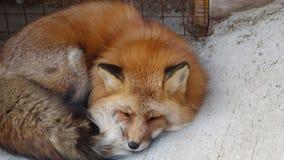 Лиса спать Япония красная Стоковая Фотография RF