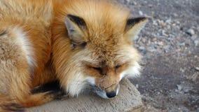 Лиса спать Япония красная Стоковое Изображение RF