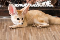 Лиса Fennec 1 год в изоляте дня щенка на предпосылке Стоковые Фото