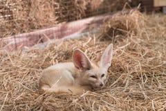 Лиса Fennec или лиса пустыни Стоковое фото RF