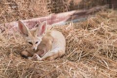 Лиса Fennec или лиса пустыни Стоковые Фото