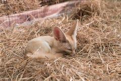 Лиса Fennec или лиса пустыни Стоковые Изображения RF
