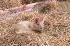 Лиса Fennec или лиса пустыни Стоковое Изображение