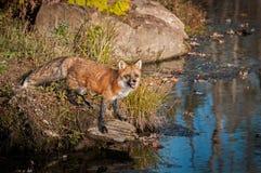 Лисица лисицы красного Fox смотрит вверх от утеса Стоковая Фотография RF