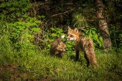 Лисица лисицы Vixen красного Fox смотрит назад с набором Стоковые Фотографии RF