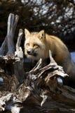 лисица красный v Стоковые Изображения