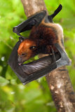 лисица летания летучей мыши Стоковое Изображение