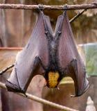 лисица летания летучей мыши malayan Стоковые Фото