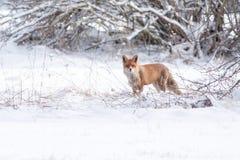 Лисица лисицы Стоковое Изображение RF