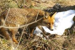 лисица одичалая Стоковые Изображения