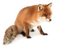лисица одичалая Стоковое Изображение RF