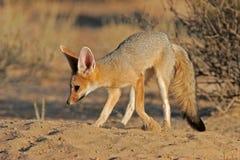 лисица плащи-накидк Стоковое Фото