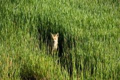 лисица поля Стоковая Фотография RF