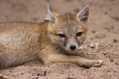 лисица смотря стремительных детенышей Стоковое Изображение