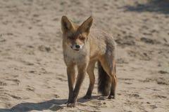 лисица Стоковое фото RF