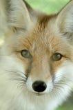лисица Стоковая Фотография
