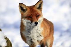 лисица Стоковые Фото