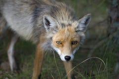 лисица Стоковое Изображение RF