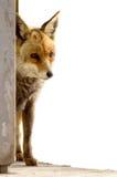 лисица Стоковые Изображения
